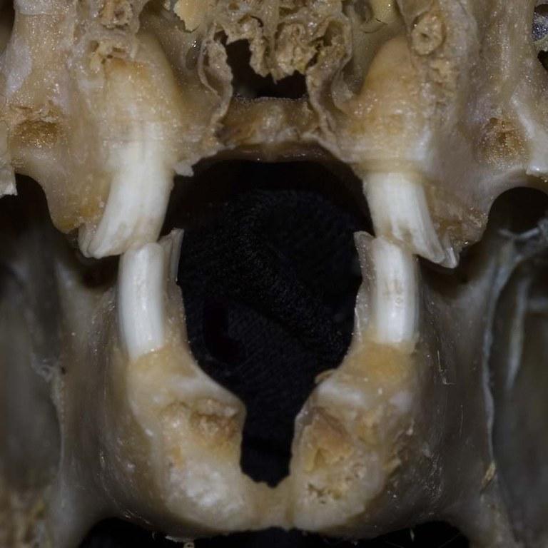 Cheek teeth occlusion