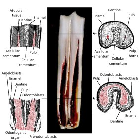 Innervation and formation of new dental tissue in a mandibular cheek tooth