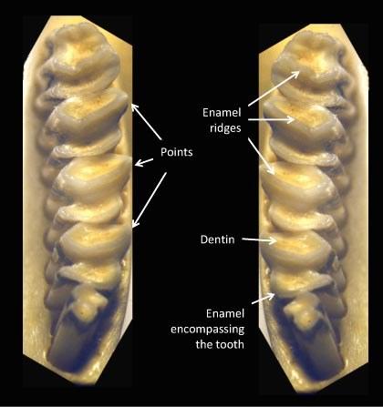 Occlusal surfaces of the mandibular cheek teeth (labelled)