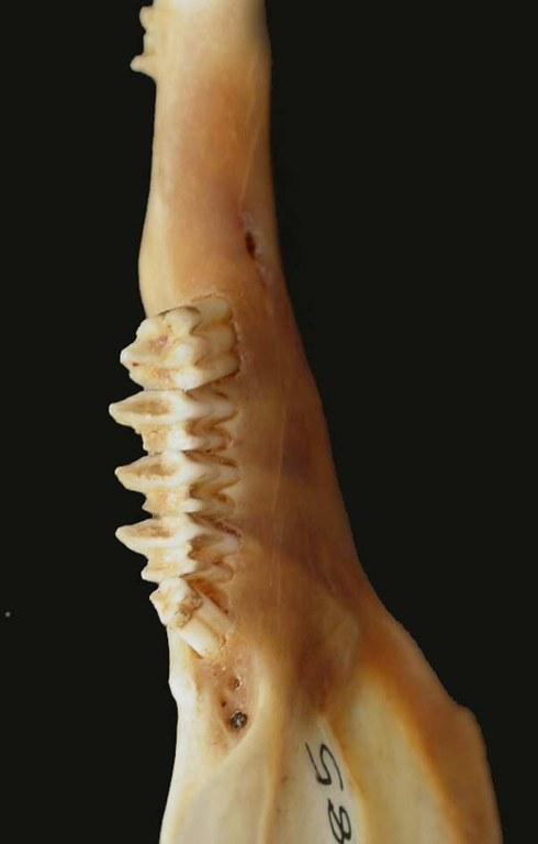 Occlusal surfaces of the mandibular cheek teeth