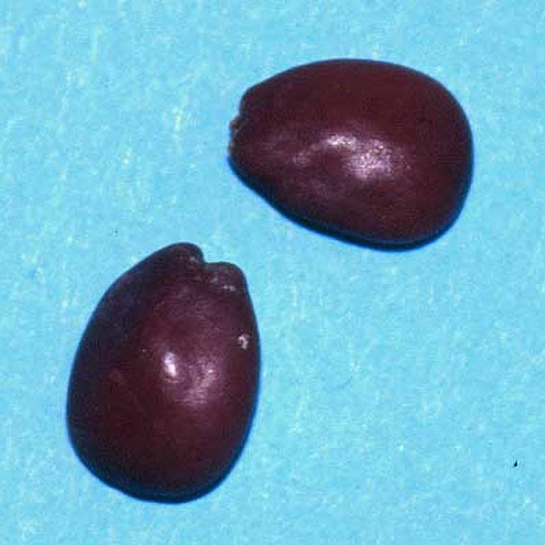 Locust bean seeds