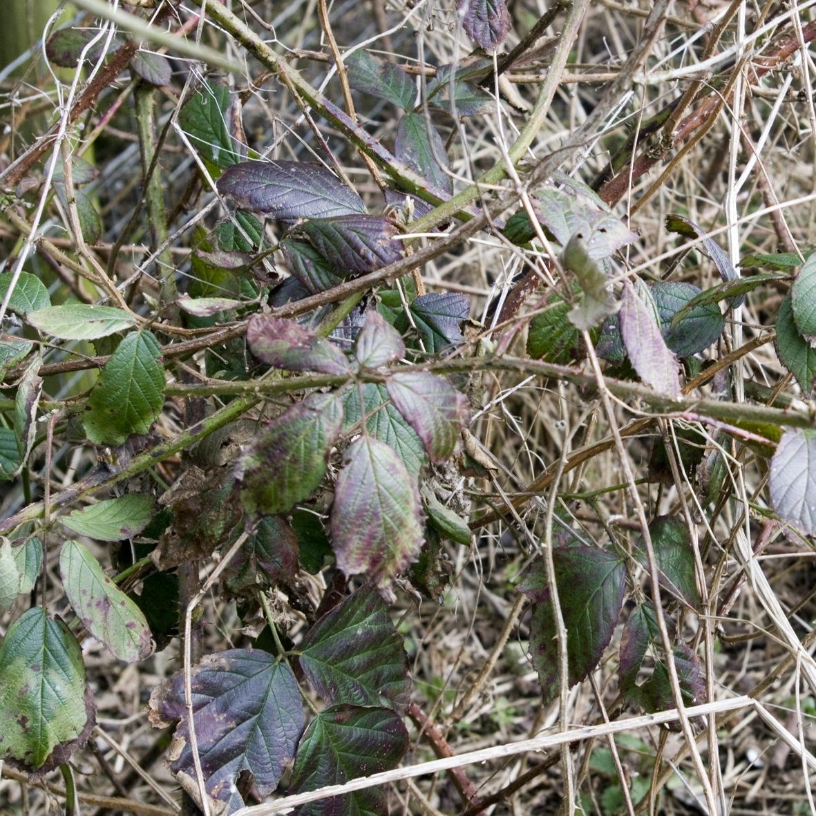 Bramble leaves in winter