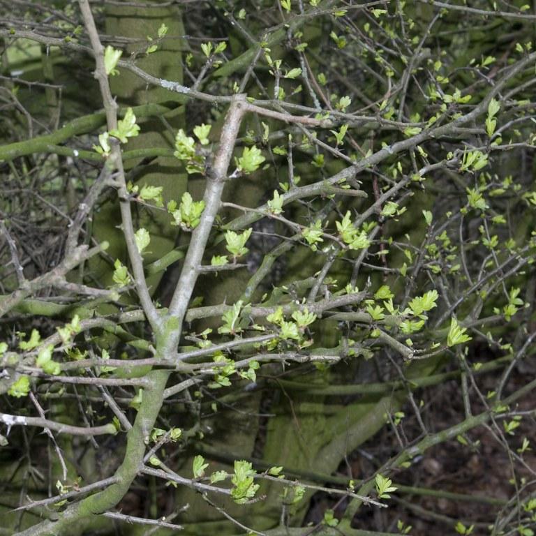Hawthorn (new leaves)