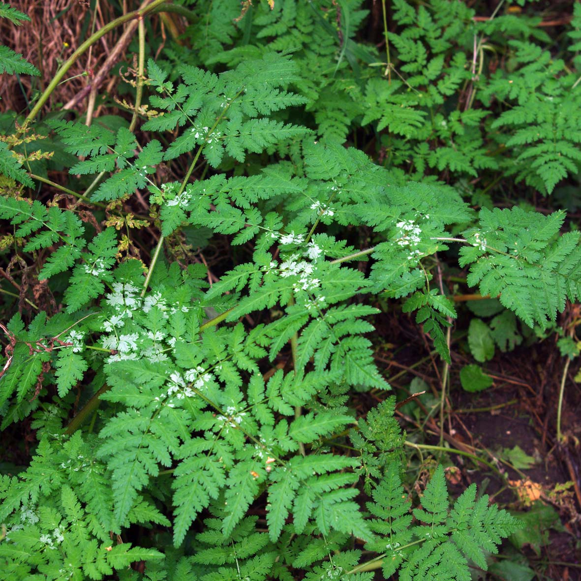 Sweet Cicely leaves with characteristic marks