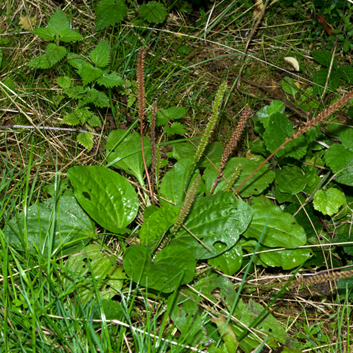 Plantain (broad-leaved)