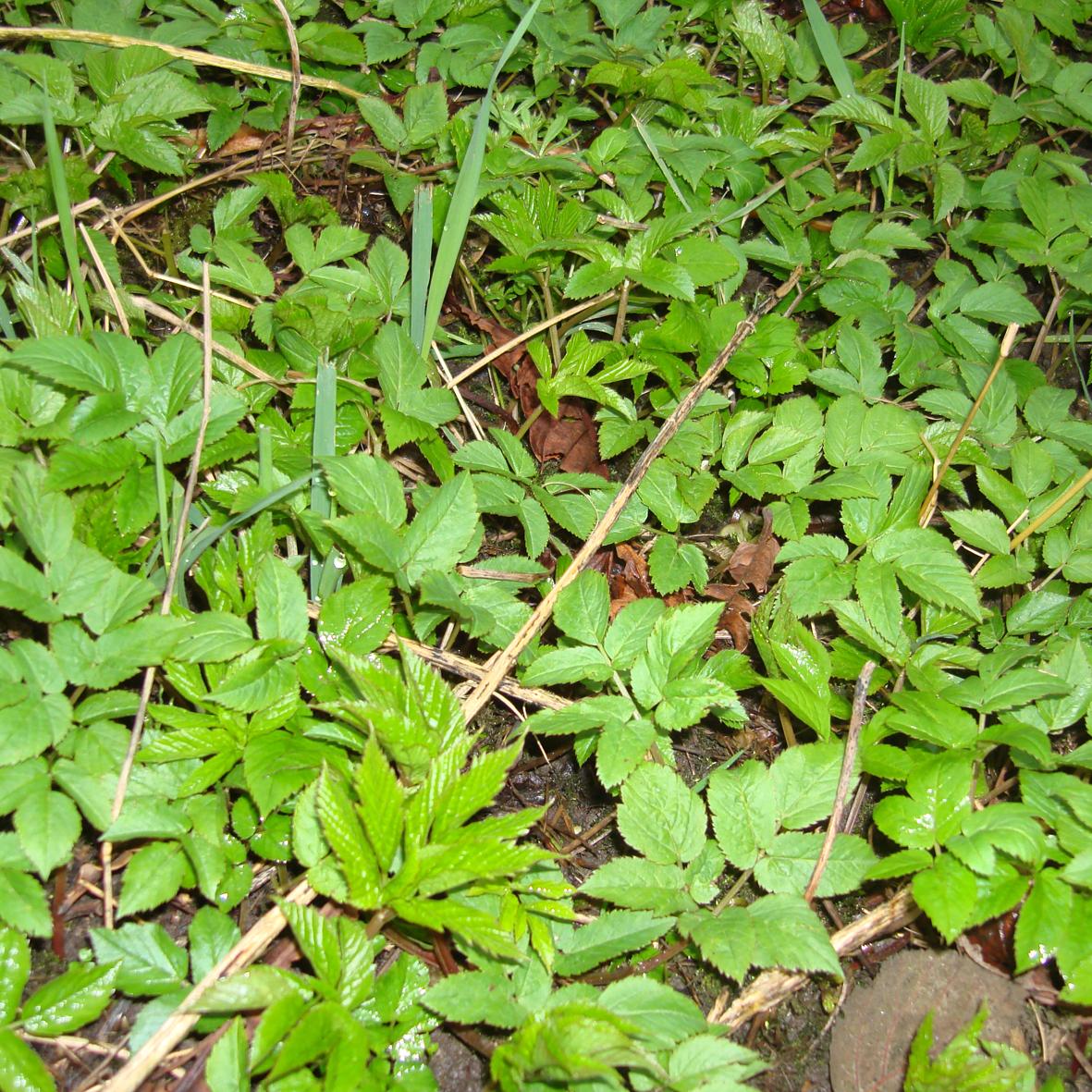 Ground Elder (new leaves)