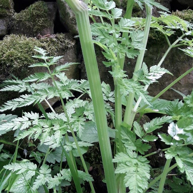 Sweet Cicely main stem