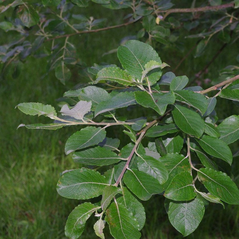 Willow (goat willow) leaves