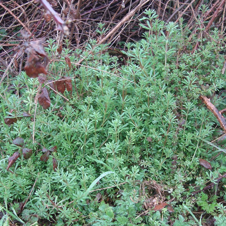 Goosegrass (early growth)