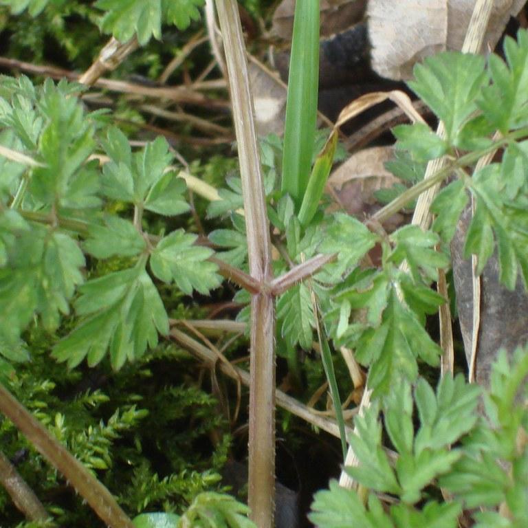 Cow parsley leaf stem groove