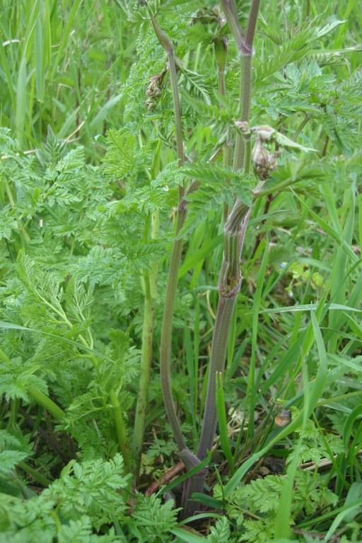 Hemlock growing next to cow parsley