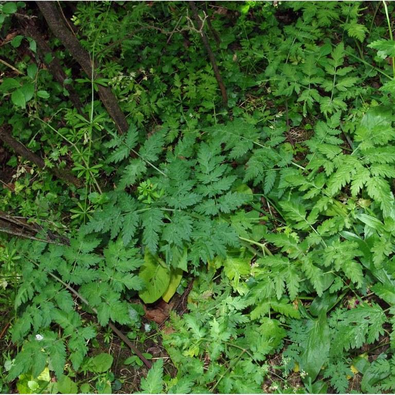Umbelliferae leaves