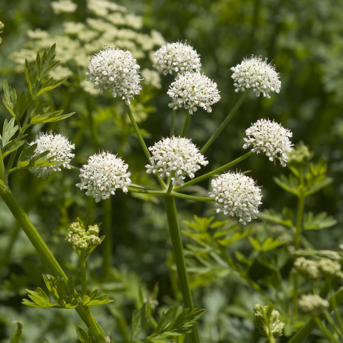 Umbelliferae flowers
