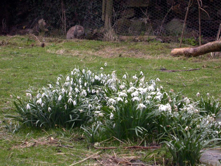 Rabbit with snowdrops