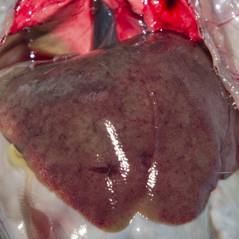 Enlarged pale, mottled liver