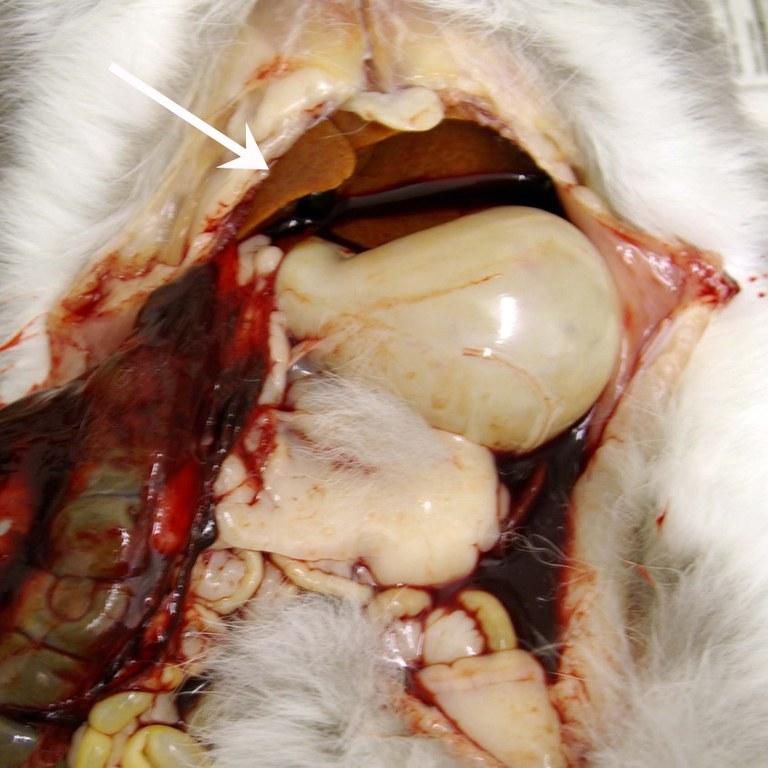 Hepatic lipidosis- ruptured liver