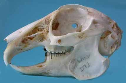 Skull from a rabbit with healthy teeth and bones