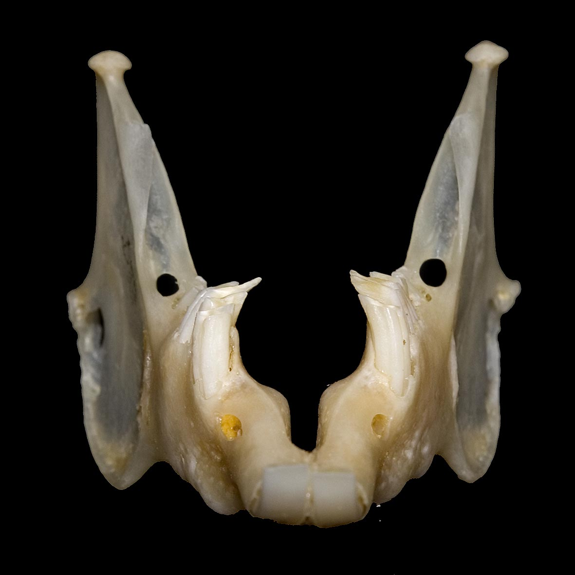 Mandible of rabbit with spurs on cheek teeth