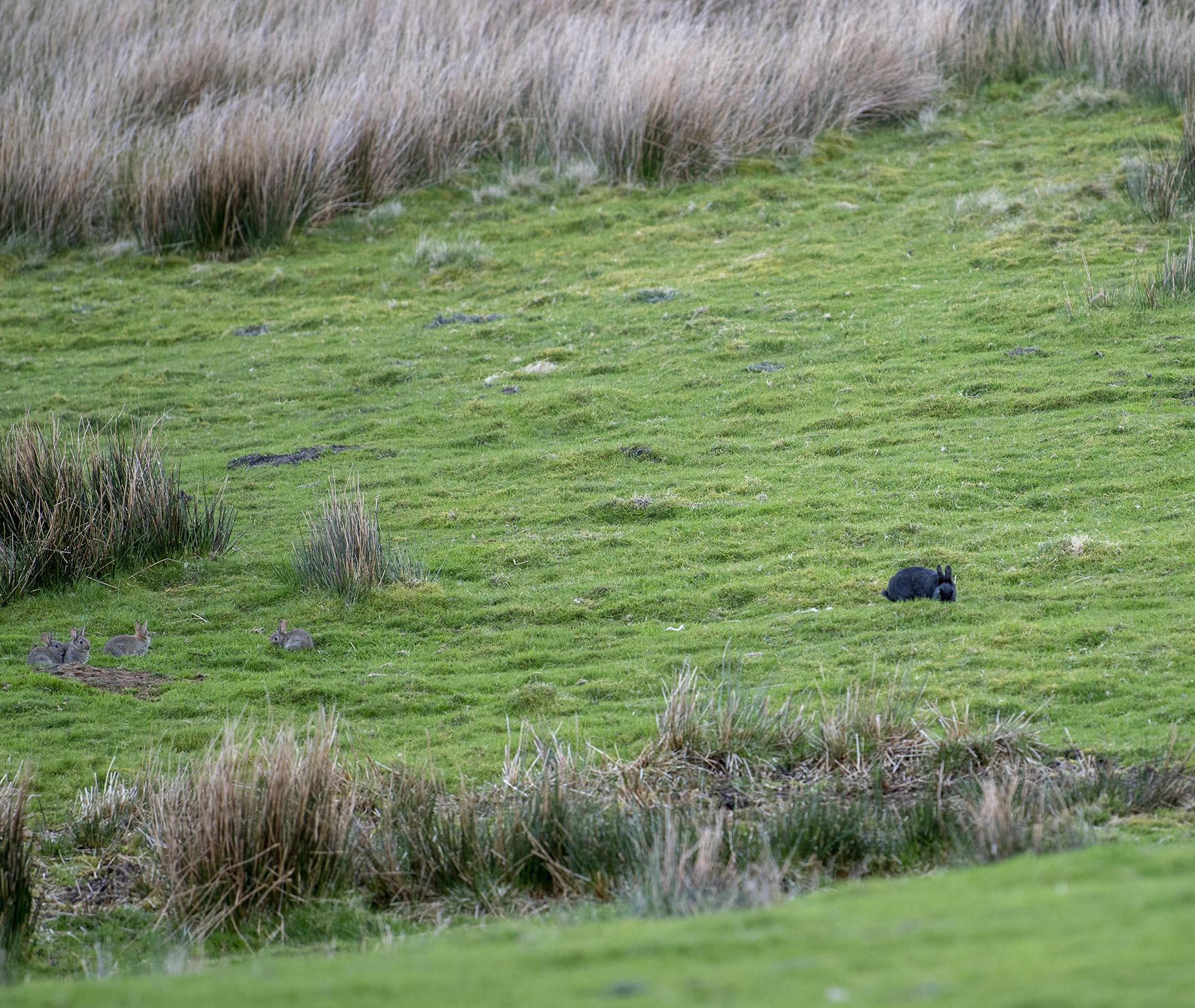 Black and agouti wild rabbits