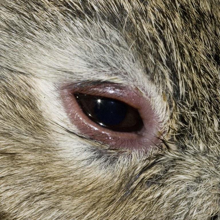 Myxomatosis swollen eyelids