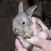 Young wild rabbits are infected with myxomatosis from fleas from the mother that live in the nest. This rabbit had just emerged so it was about 4 weeks old. It was caught by a dog. Although there were no injuries from the dog,  the swollen eyelids indicate that it was in the initial stages of myxomatosis.
