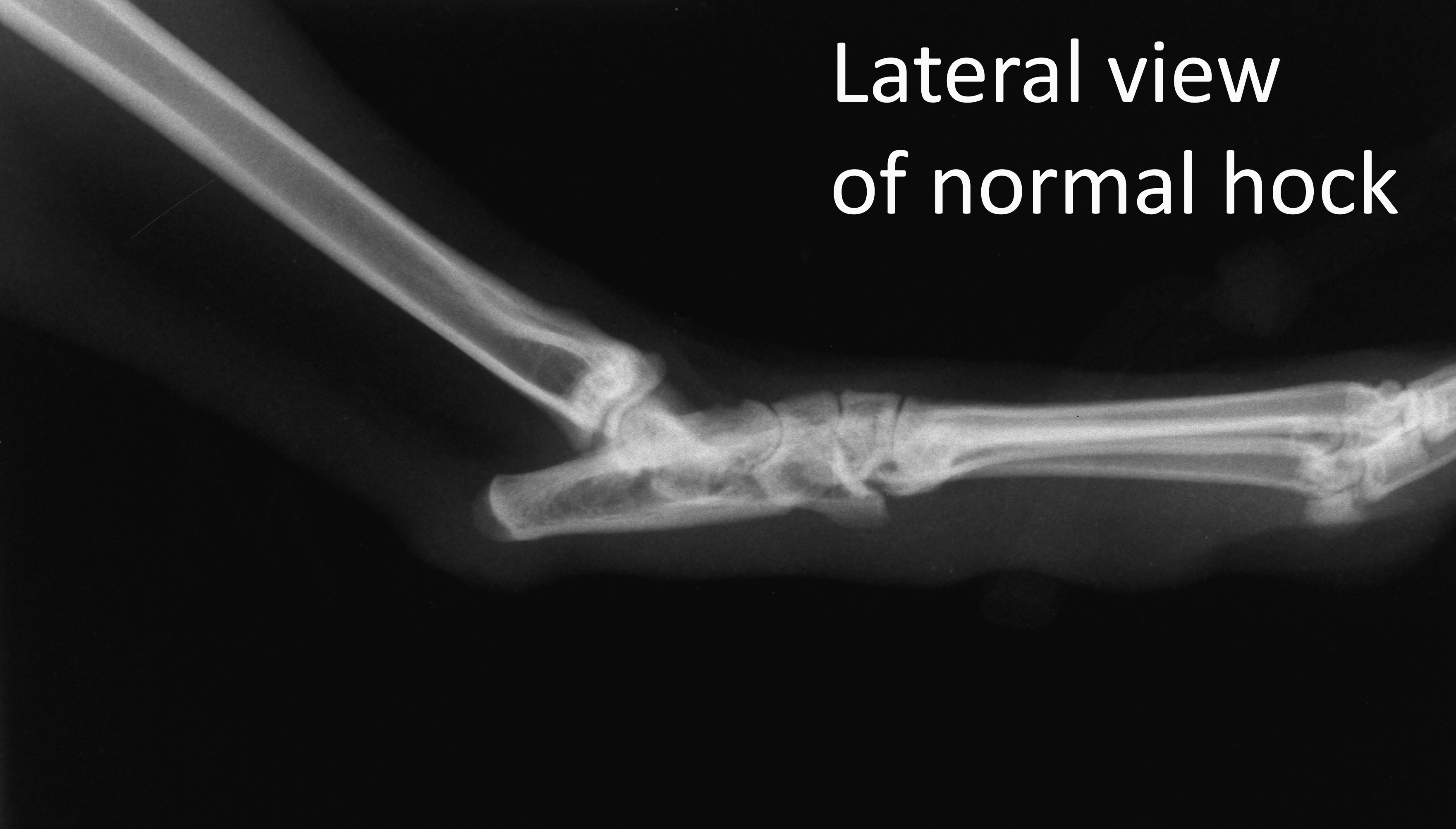 Lateral view of normal hock