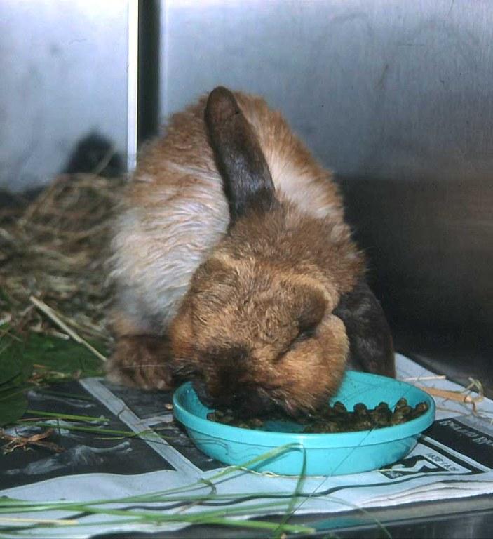 Rabbit with dental disease