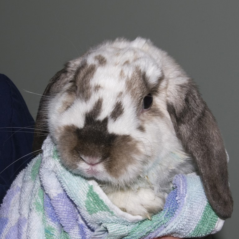 Rabbit wrapped in a towel