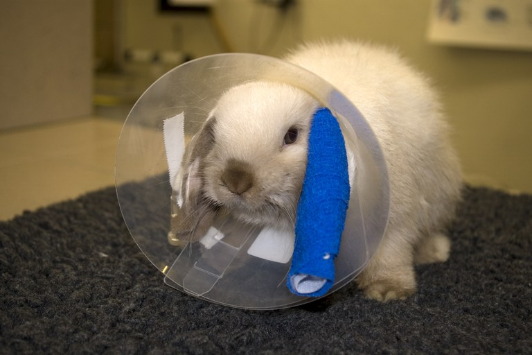 Rabbit with collar and intravenous drip